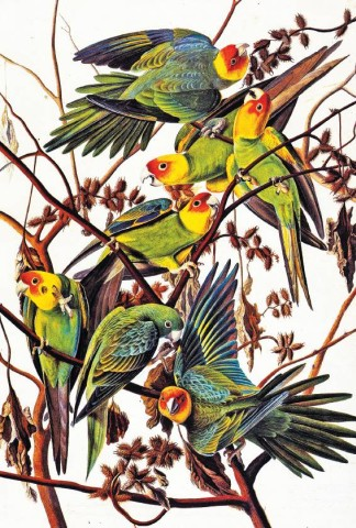 [NEW-YORK HISTORICAL SOCIETY]BIRDS OF A FEATHERJohn James Adubon's 'Carolina Parakeet (Conuropsis carolinensis), Study for Havell Plate 26' (1825) is on view in 'Drawn by New York: Six Centuries of Watercolors and Drawings' at the New-York Historical Society.